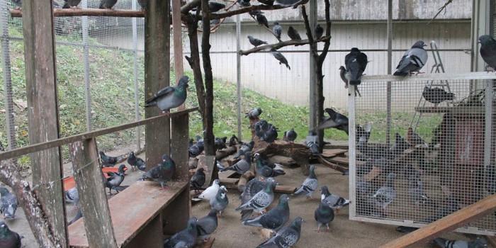 Stadt sucht Strategie gegen Taubenplage