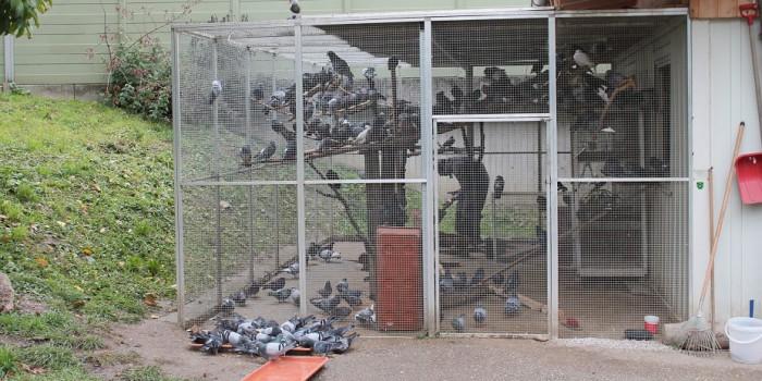 Stadt Salzburg droht neue Taubenplage