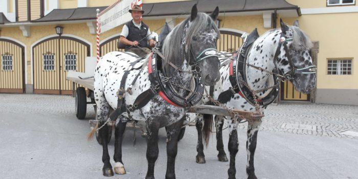 Die Stiegl-Pferde: Und täglich trabt das Bier
