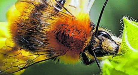 Insektensterben: Wildbienen geschützt