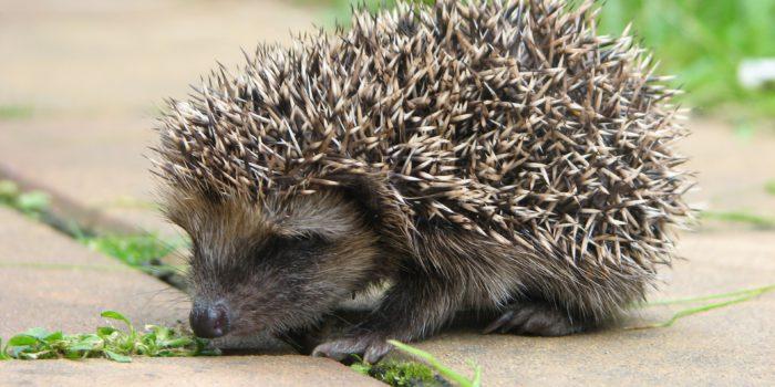 Alarm: Viele Igel sind heuer unterernährt