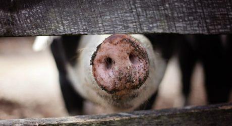 Derbe Lieder übers Kaminfegen und das  Schweine-Orakel für Verliebte