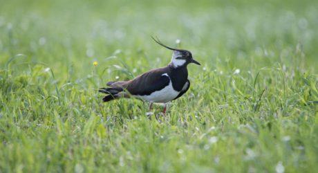 Gefährdeter Frühlingsbote im Anflug