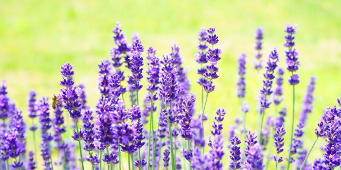 Lavendelduft bietet dem Hirn eine Auszeit