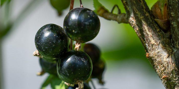 Schwarz, süßsauer und kraftvoll