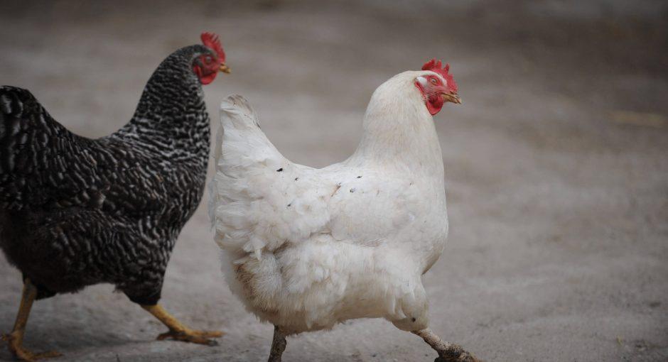 Wanderhühner im Vormarsch: So geht echtes Glück