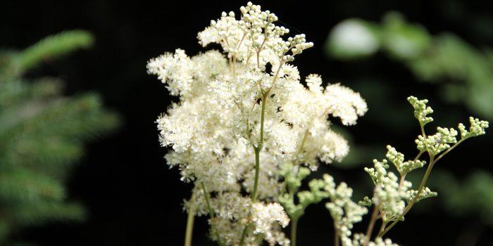 Mädesüß: Weiße Wedel überall