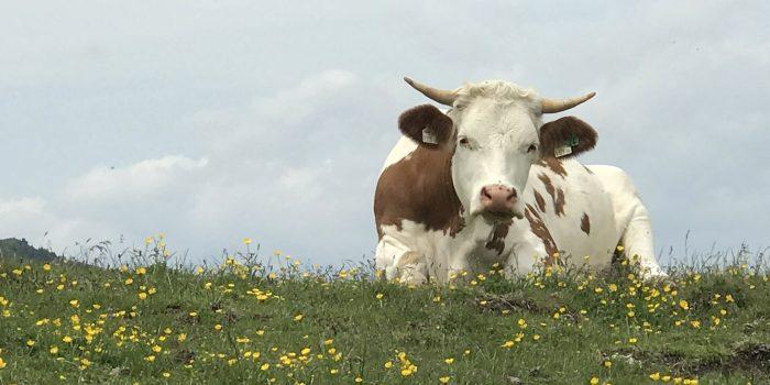 Wie gut geht es Salzburgs Kühen?