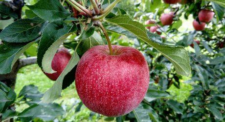 Die Apfelzeit beginnt